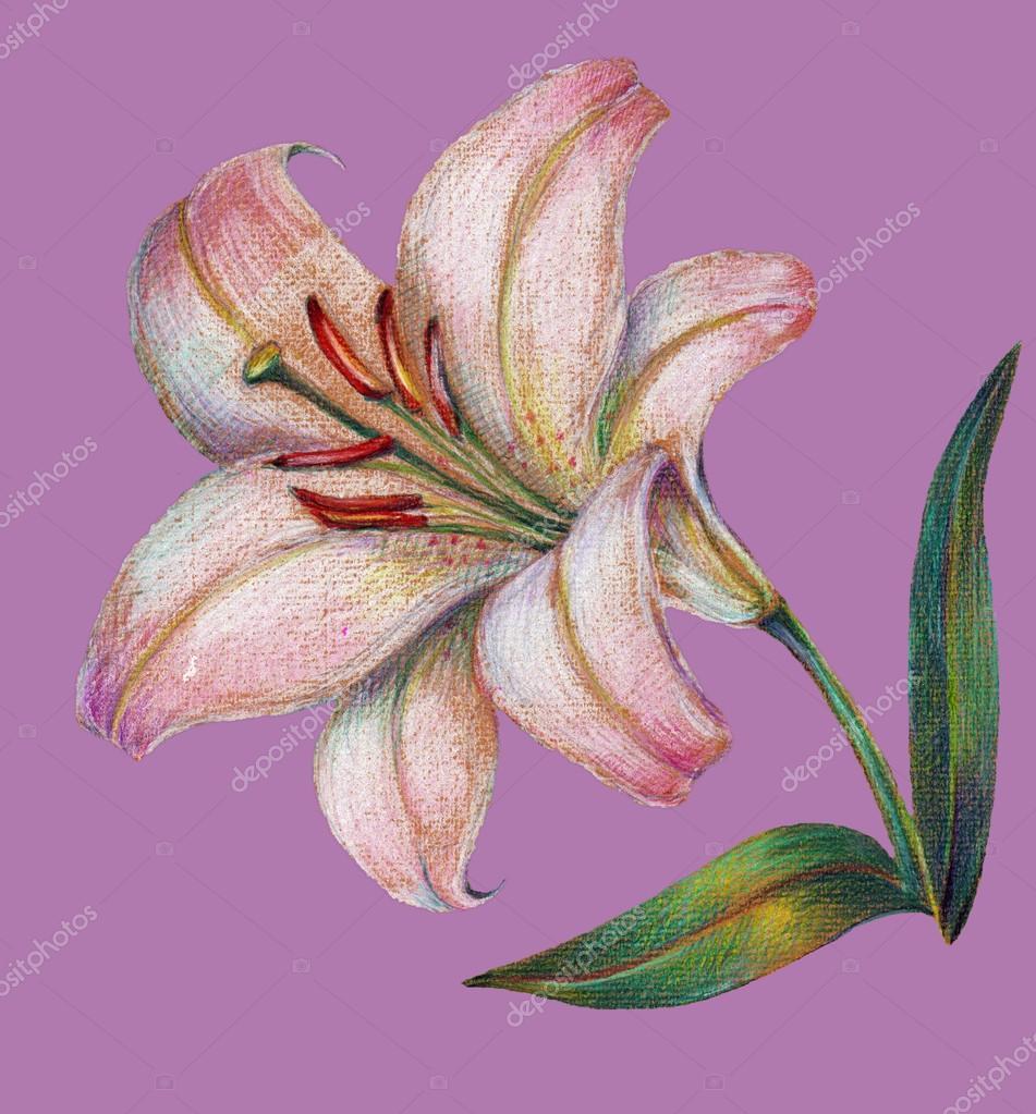 Imágenes Flores Dibujo A Lapiz A Color Azucena Foto De Stock