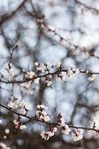 kvetoucí Meruňka