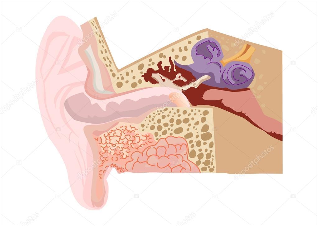 Diagramm der menschlichen Ohr — Stockvektor © kastarisentra #43273543