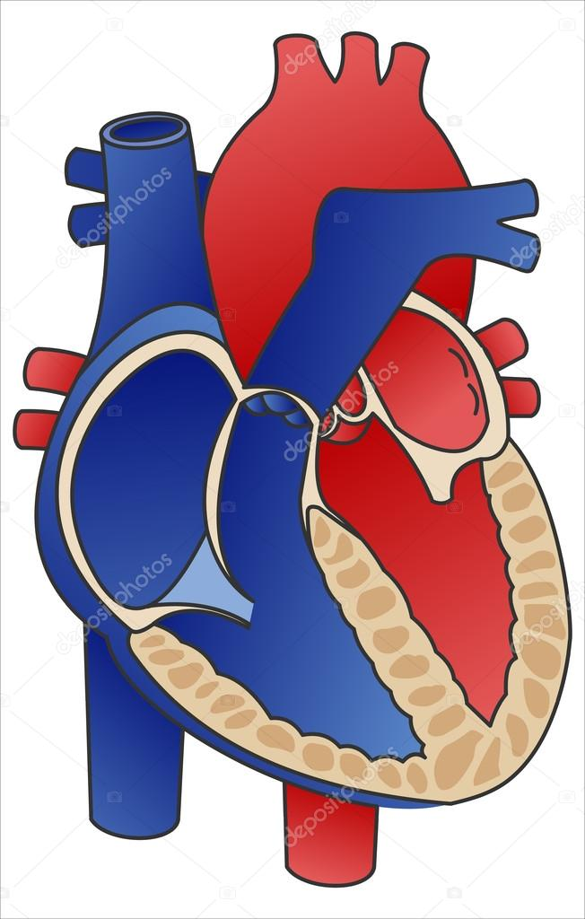 Diagram heart stock vector kastarisentra 48236623 cross section diagram of human heart showing left and right ventricle left and right atrium pulmonary artery aorta this image is a vector illustration ccuart Choice Image