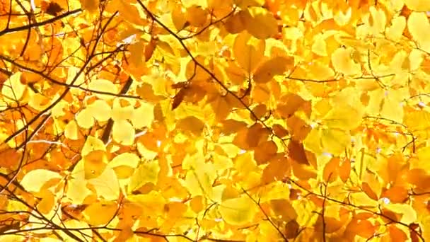 Yellow leaves of the chestnut tree