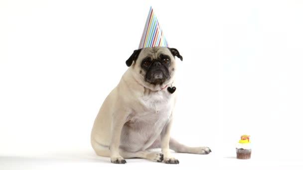 Mops Hund Tragt Einen Geburtstag Partei Hut Stockvideo