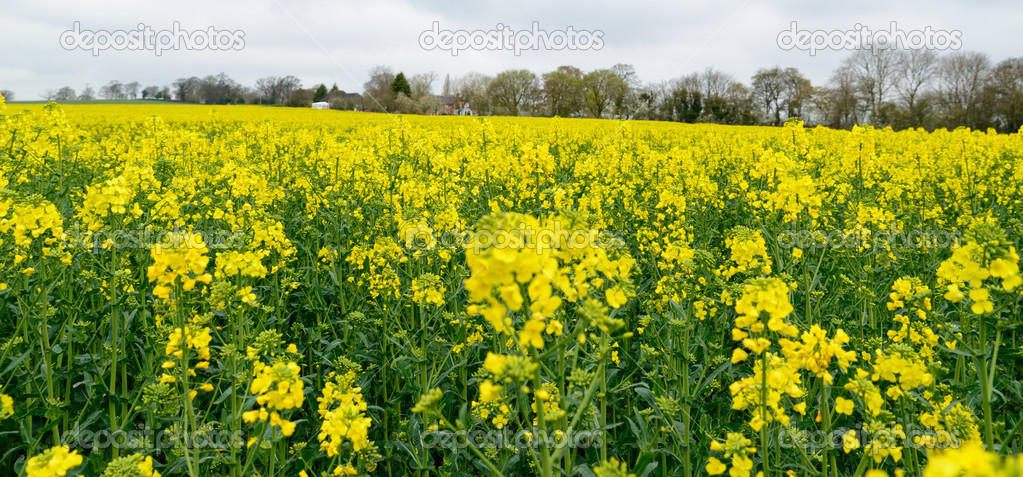 Yellow rapeseed flower field uk stock photo chris418 43745265 a field of rapeseed flowers in worcestershire uk photo by chris418 mightylinksfo