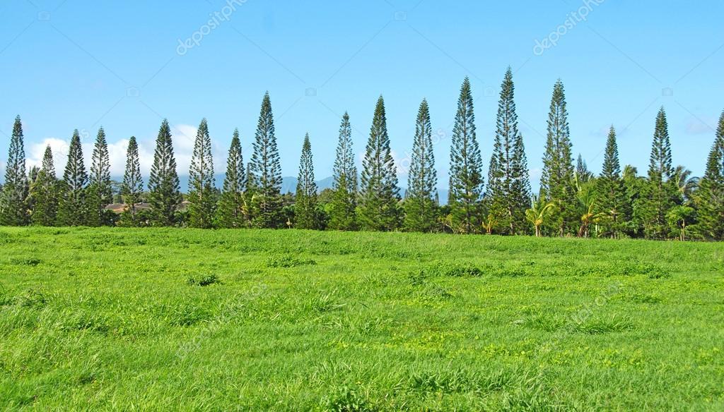 Row of Cook Pines, Maui, Hawaii