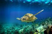 Photo Green sea turtle swimming underwater