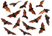 Fotografie Spooky Halloween flying fox fruit bats in sky