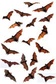 Fotografie Flying fox fruit bats