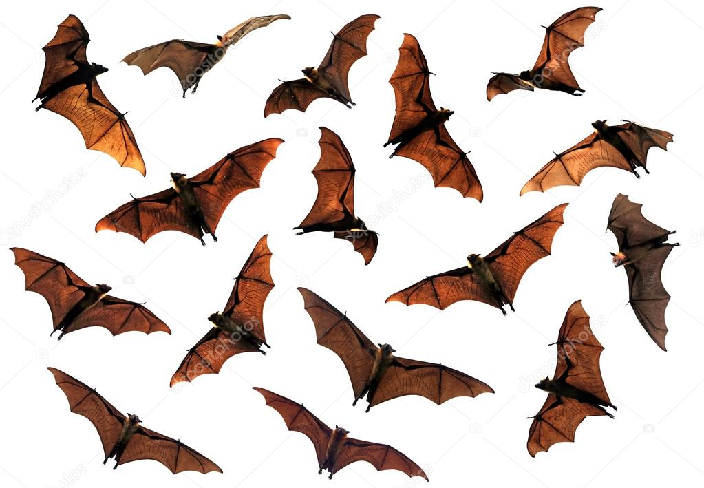 Spooky Halloween flying fox fruit bats in sky