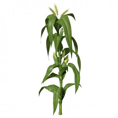 Illustration of Corn Stalk.