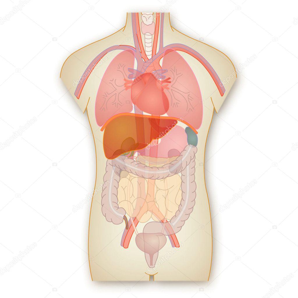 anatomía humana — Fotos de Stock © Art1o1 #44627477