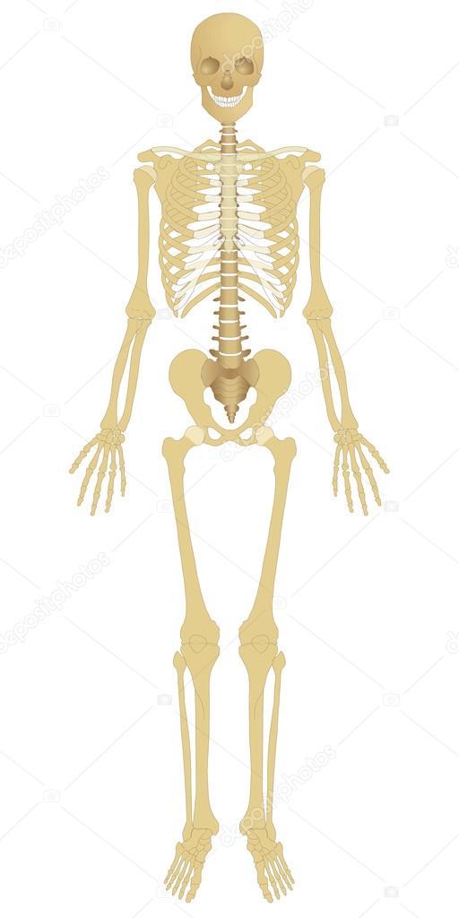 esqueleto humano — Foto de stock © Art1o1 #44627483