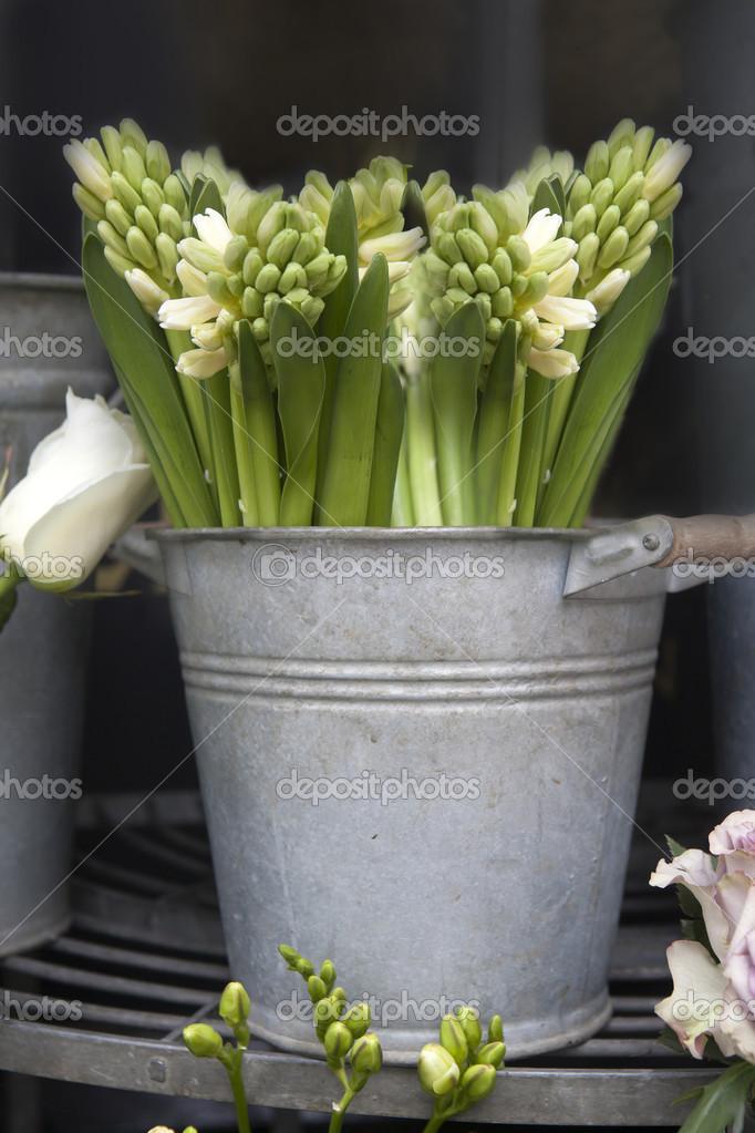 weiße Hyazinthe Blume in einem Jahrgang Eimer — Stockfoto ...