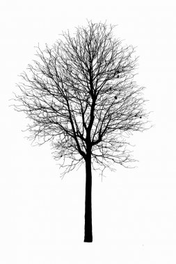 Dead tree silhouette.  dry oak crown without leafs isolated on w