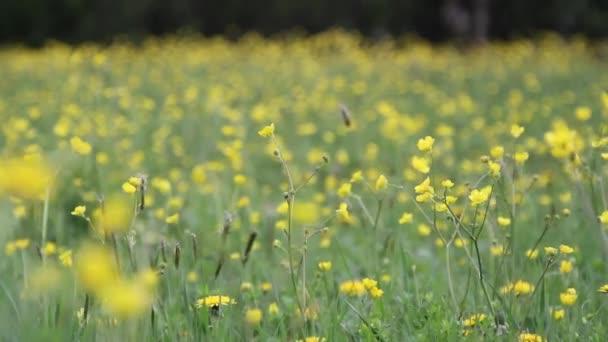 jarní louka plná žlutých květin