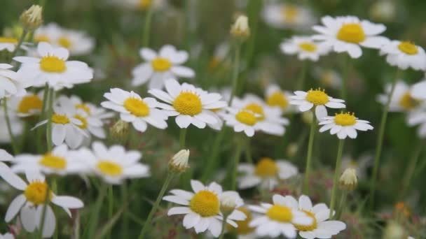 Close up of camomile in morning dew