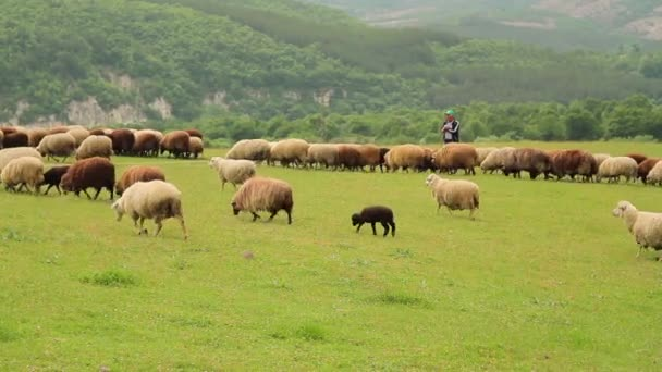 Flock of sheep and lamb passing in front of a shepherd
