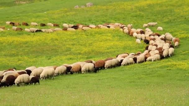 Sheep walking in a roll