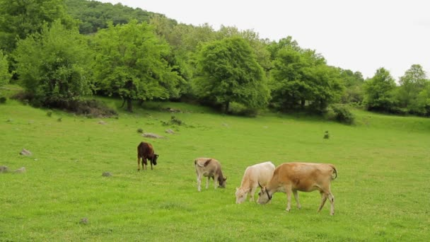 Cows bleating and grazing on a pasture