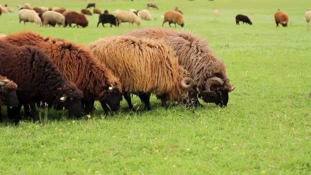 Gruppe von Schafen und Widdern, die auf eine Weide starren