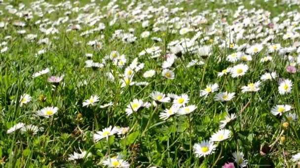 Meadow full of daisies (focus on detail)