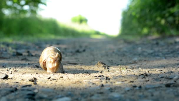 Snail crawls on path (in nature)