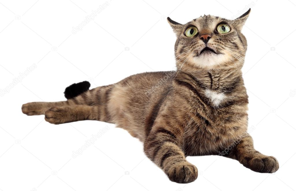 Tabby cat looking up on a white background.