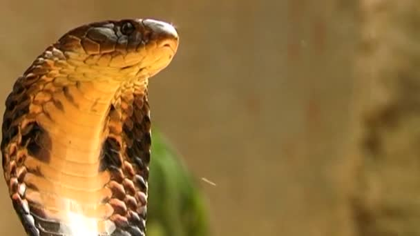 Standing King Cobra or Ophiophagus Hannah