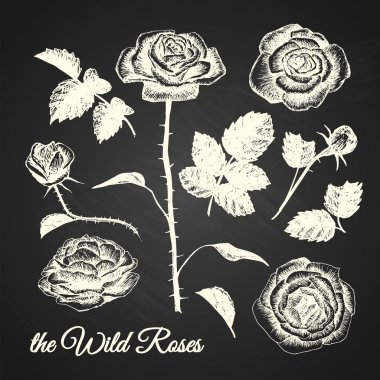 THE WILD ROSES - hand drawn illustrations - chalkboard