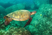 Photo Green turtle