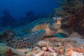 Fotografie Green turtle