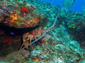 Photo Caribbean Lobster