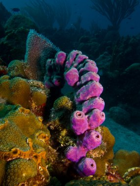 Sponges from the caribbean reefs.