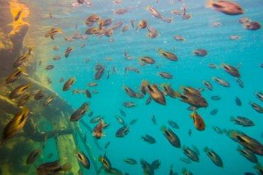 School of grunts in reefs