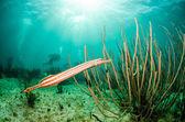 Photo Caribbean trumpetfish