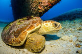 Photo Loggerhead turtle