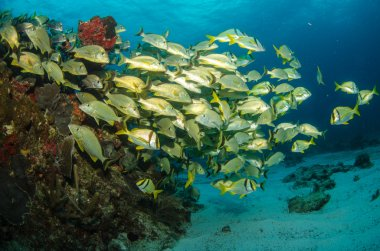 Caribbean grunts and snapper
