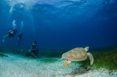 Green turtle with divers