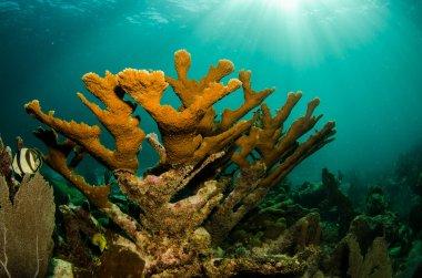 Caribbean coral reef.