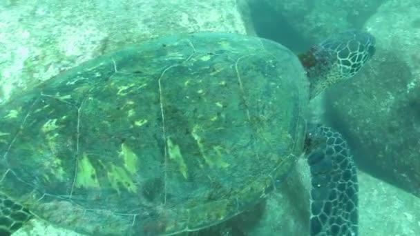 želva zelená