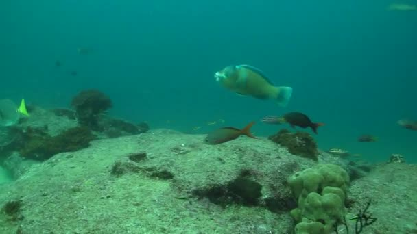 Parrotfish from reefs of cabo pulmo