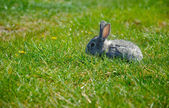 Affascinante piccolo coniglio grigio su erba verde
