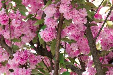 Cherry blossom. Nantes, France