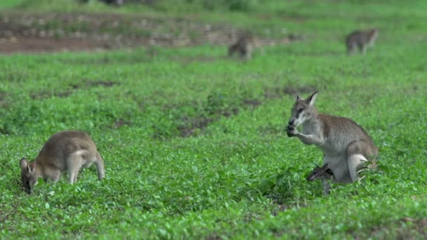 Group Wallabies with wallaby with baby in here pouch