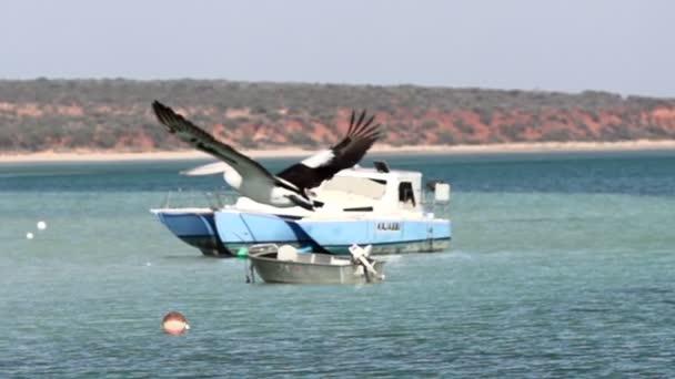 Pelikán létání