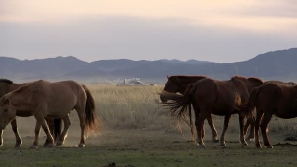koně s jurty (gers) a ovce a kozy