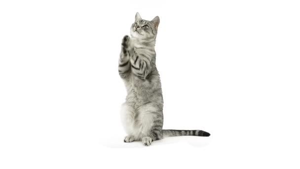 Cat clapping paws, asking for a snack