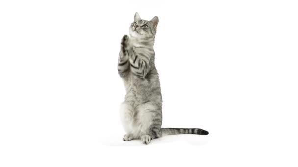 macska taps paws, kér egy snack