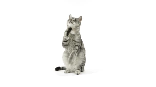 Cat clapping paws, asking for more