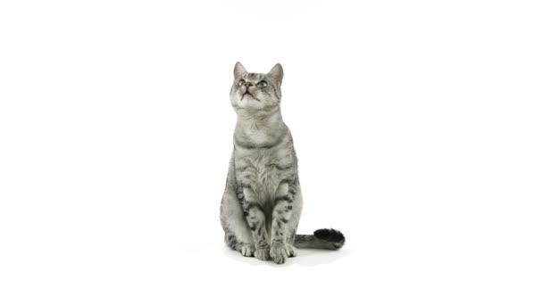 macska taps paws, élelmiszert kérve