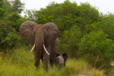 Wild elephant Mother protects Calf